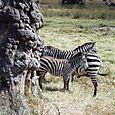 des zebres!